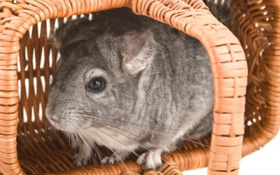 Chinchillas as House Pets